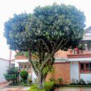 Árbol en conjunto residencial  de Pan de Azúcar requiere atención