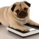 Obesidad en las mascotas,  un problema que va en aumento