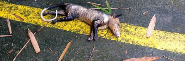 Reportan muerte de zarigüeyas en Altos de Pan de Azúcar