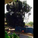 Árbol emblemático  podría morir