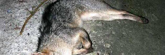 Un zorro murió atropellado